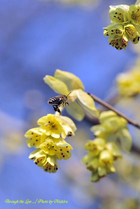 トサミズキとミツバチ1-1