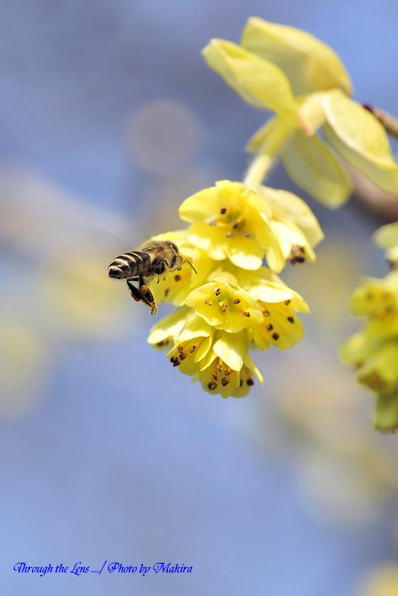 トサミズキとミツバチ2