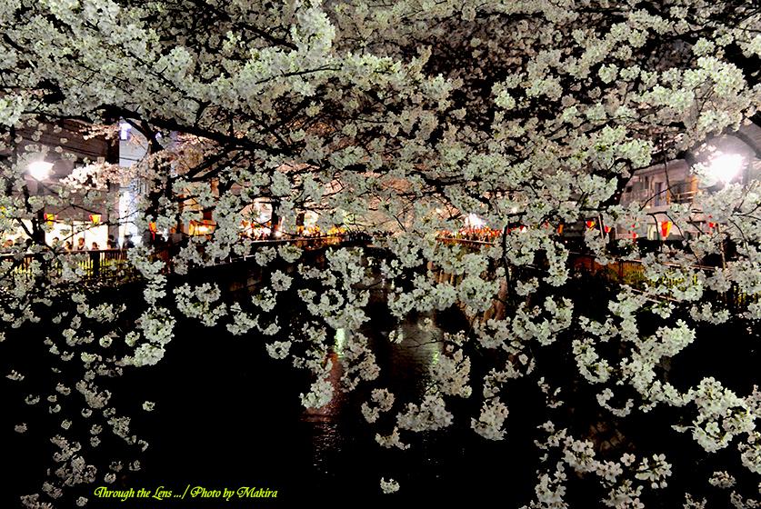 目黒川夜桜1
