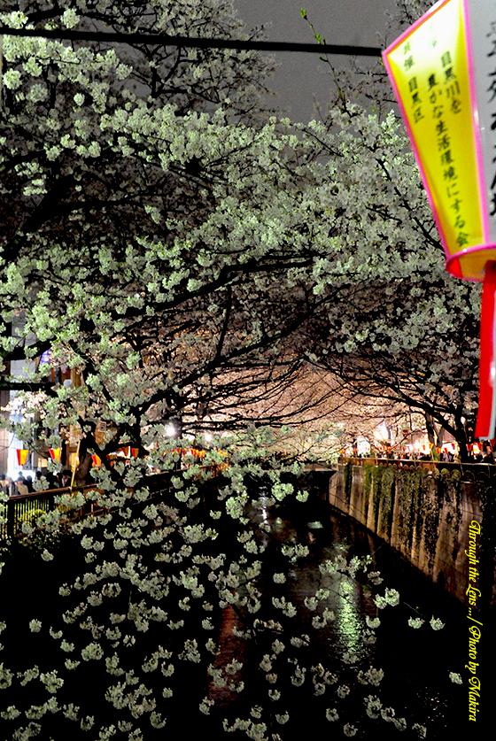 目黒川夜桜3