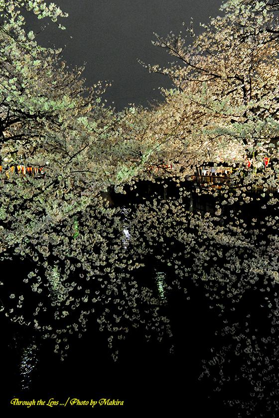 目黒川夜桜4