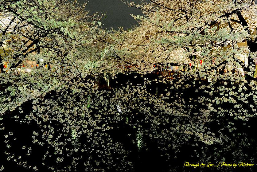 目黒川夜桜5