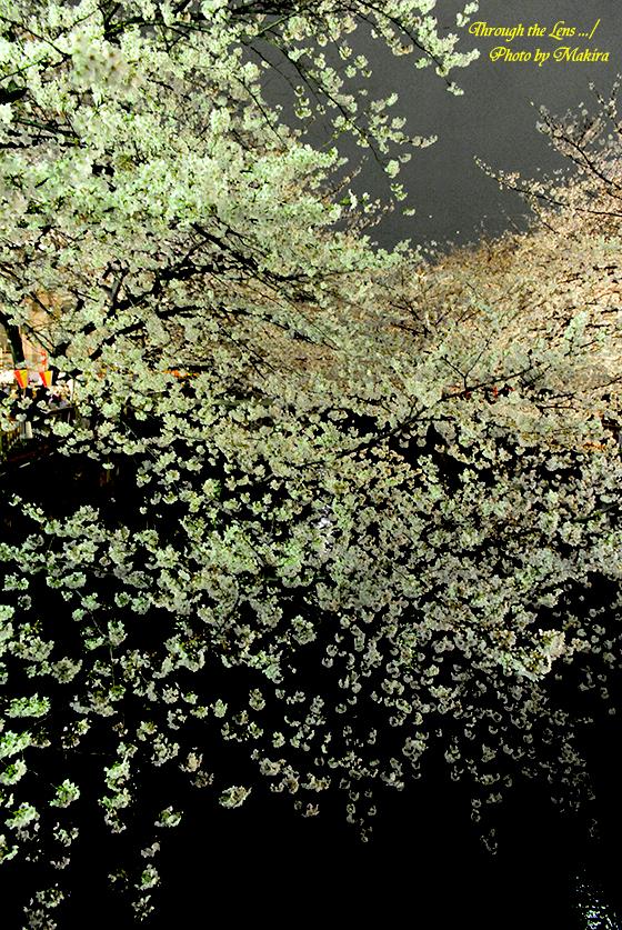 目黒川夜桜6