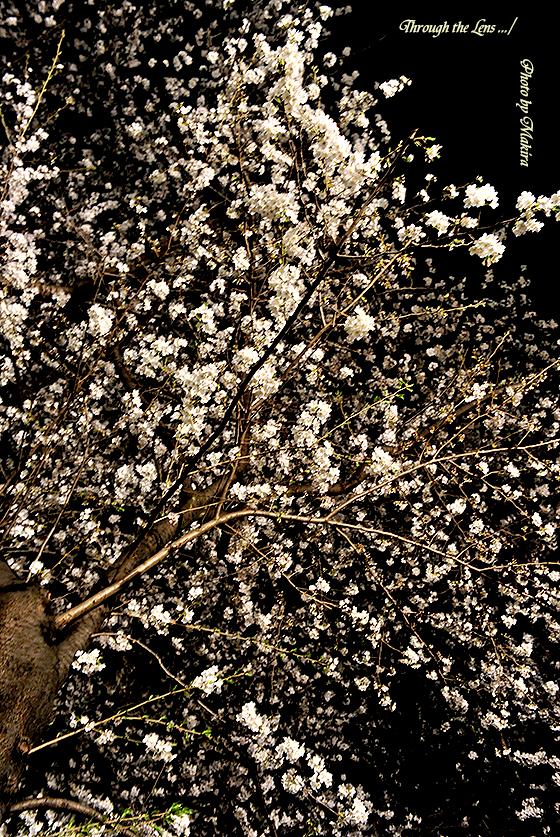 目黒川夜桜8