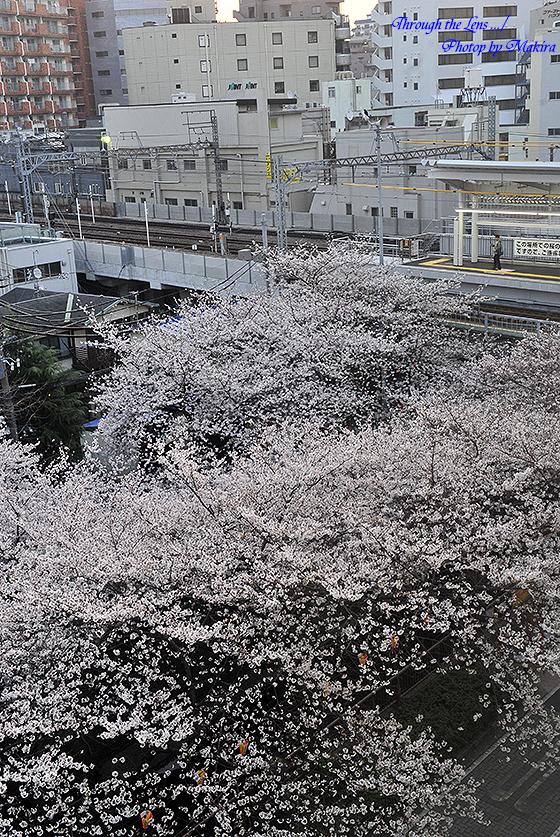 目黒川桜と東急東横線中目黒駅1