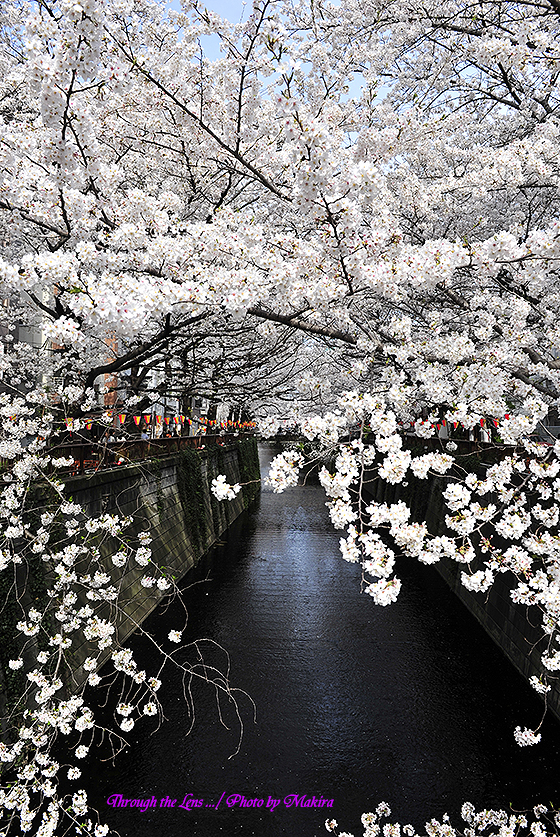 目黒川桜1