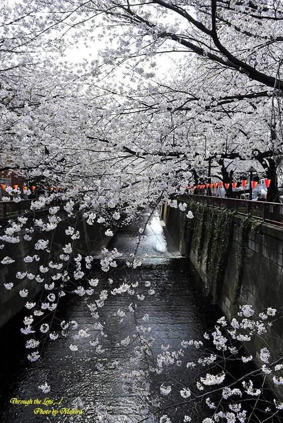 目黒川桜1-1