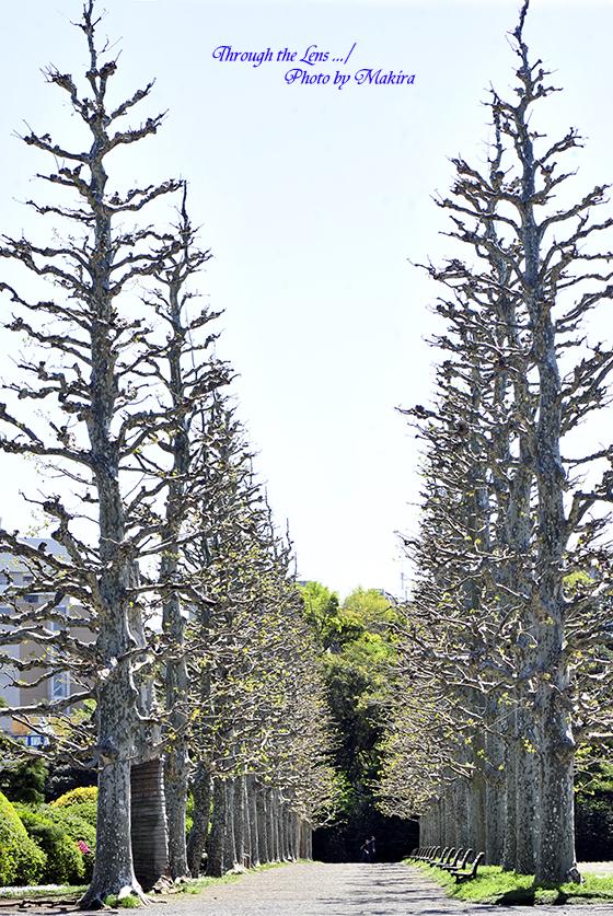 プラタナス並木1