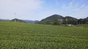 12101茶畑