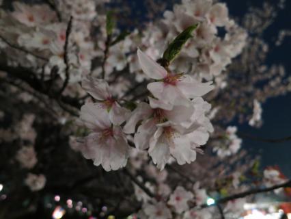 20130331夜桜02