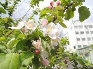 リンゴの花02