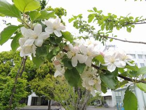 リンゴの花03