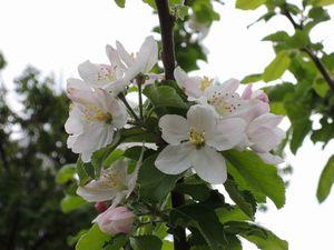 リンゴの花04