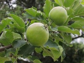 ニュートンのリンゴの実