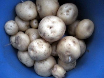 じゃが芋収穫3