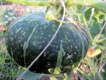 農園かぼちゃ4
