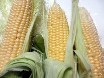 トウモロコシ初収穫6