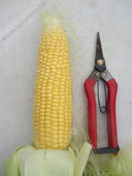 トウモロコシ収穫7