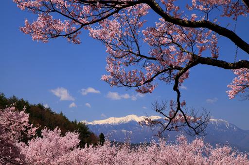 桜と西駒ヶ岳