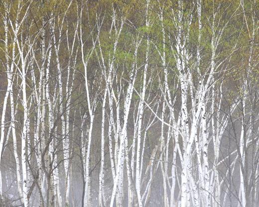 芽吹くシラカバの森に霧