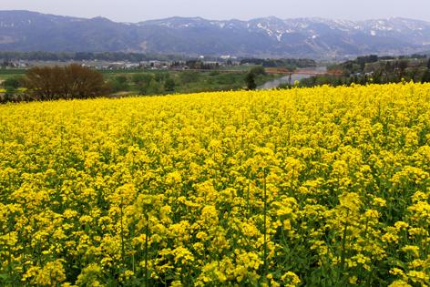 菜の花畑と千曲川、関田山脈
