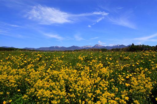 春の野草に造形雲と残雪の八ヶ岳