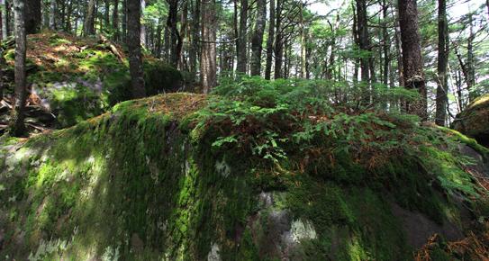 針葉樹の森と苔むす岩