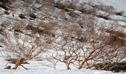 残雪に映える岳樺林