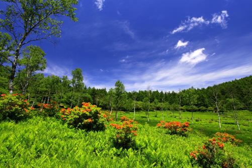 ツツジ咲く入笠湿原