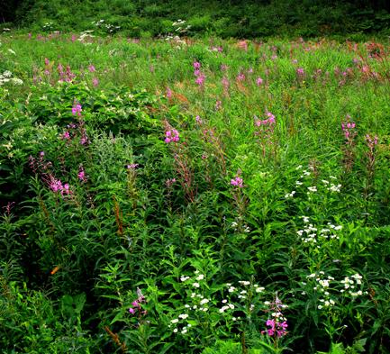 ヤナギラン咲く草原