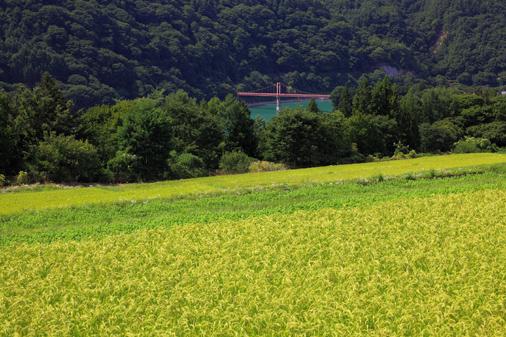 稲穂と吊橋の風景