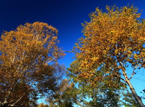 シラカバとダケカンバの黄葉