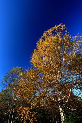 青空にダケカンバの黄葉