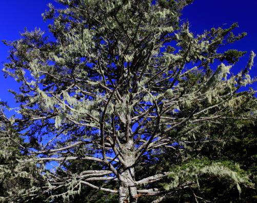 サルオガセまとう針葉樹