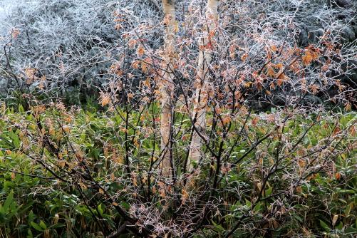 ナナカマドの紅葉に霧氷
