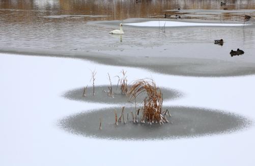 白鳥のいる湖面雪景色