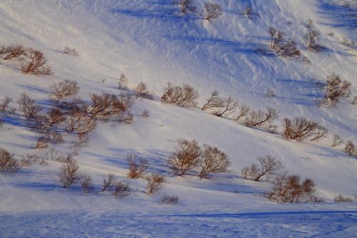 雪の山肌に岳樺の樹影