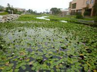 鵜の岬スイレン池