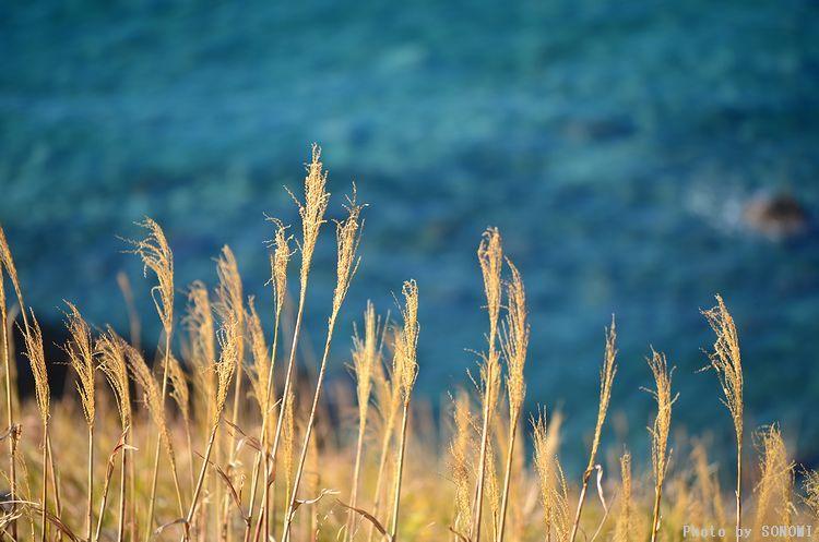 海とすすき