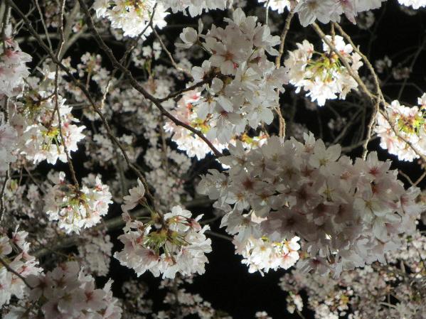 夜桜とサクラ