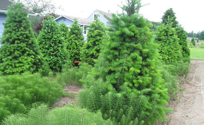 クリスマスツリー農家