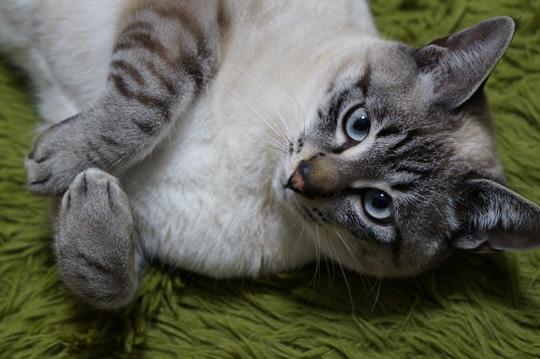 猫かぶりアッシュ