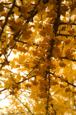 銀杏並木8