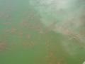150124養殖池の金魚