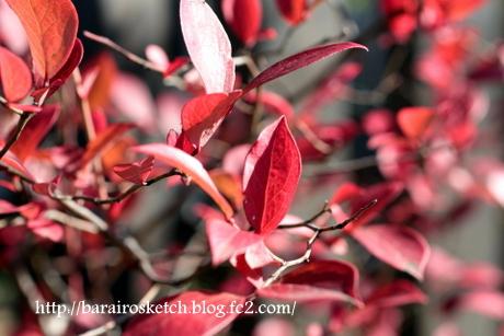 紅葉のブルーベリー1