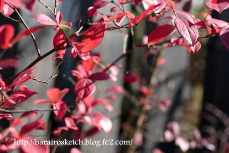 紅葉のブルーベリー3
