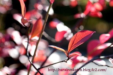 紅葉のブルーベリー2
