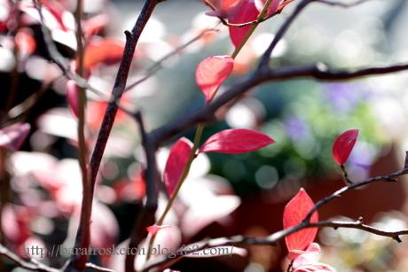 紅葉のブルーベリー4