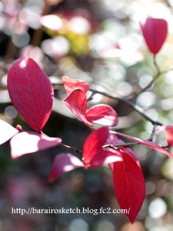 紅葉のブルーベリー5