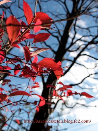 紅葉のブルーベリー6